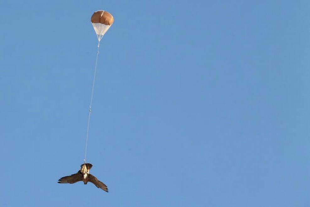 Un falco viene catturato tramite l'esca di un drone, per poi tornare a terra tramite un piccolo paracadute ad Abu Dhabi (Emirati Arabi Uniti). 3 febbraio 2015